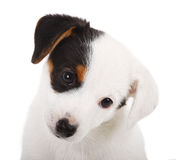 Portrait of Jack Russell puppy Royalty Free Stock Photos
