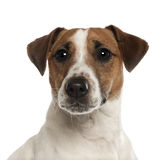 Portrait of Jack Russell Terrier, 1 year old Stock Images