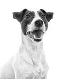 Portrait of jack russell terrier. Royalty Free Stock Images