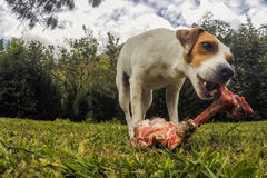 Portrait Of Jack Russell Terrier Dog Chewing A Big Bone Royalty Free Stock Image