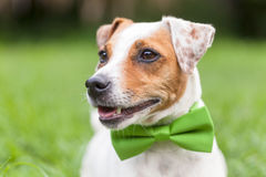 Portrait Of A Jack Russell Terrier Dog stock photo