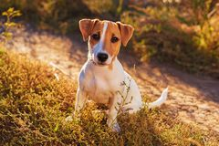 Portrait of Jack Russell Terrier. nice puppy dog walking on autumn alley.  stock photos