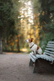 Portrait of a Jack Russell terrier outdoors. A dog on a walk in the park Royalty Free Stock Photo