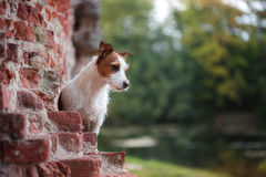 Portrait of a Jack Russell terrier outdoors. A dog on a walk in the park Royalty Free Stock Photography
