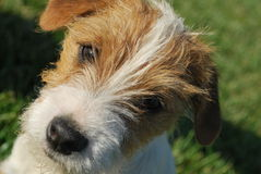 Portrait of Jack Russell Terrier Puppy. Close up of a Jack Russell Tarrier puppy with a ruff coat Stock Photography