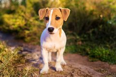 Portrait of Jack Russell Terrier. puppy dog walking on autumn alley royalty free stock image