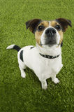 Portrait Of Jack Russell Terrier Standing On Grass Royalty Free Stock Images