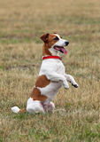 Portrait of Jack Russell terrier Royalty Free Stock Photos