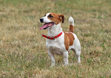 Portrait of Jack Russell terrier Stock Images