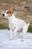 Portrait of Jack russell terrier Royalty Free Stock Image