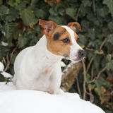 Portrait of Jack russell terrier Stock Photography