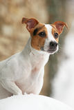 Portrait of Jack russell terrier Royalty Free Stock Photography