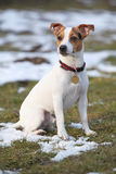 Portrait of Jack russell terrier Royalty Free Stock Images