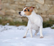 Portrait of Jack russell terrier Stock Image