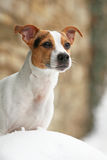 Portrait of Jack russell terrier Royalty Free Stock Photo