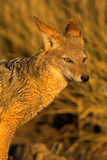 Portrait of a jackal. Portrait of a black backed jackal in the morning sun- the shot was taken in the Kglagadi Transfrontier Park, South Africa Royalty Free Stock Images