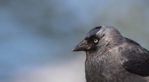 Portrait of a jackdaw Royalty Free Stock Photography