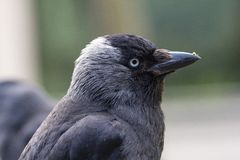 Portrait of a Jackdaw with some food or dirt on his beak stock image