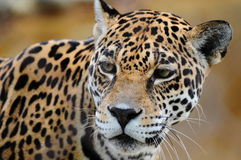 Portrait of a Jaguar. In a South Florida zoo Stock Image