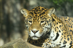 Portrait of a Jaguar. Jaguar portrait lying on a tree trunk Stock Image