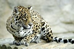 Portrait of jaguar Royalty Free Stock Photo