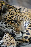 Portrait of jaguar. Panthera onca Royalty Free Stock Photography