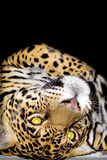 Portrait of the jaguar Royalty Free Stock Photo