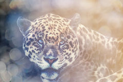 Portrait of a Jaguar Stock Images