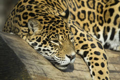 Portrait of a Jaguar (horizontally) Stock Photos