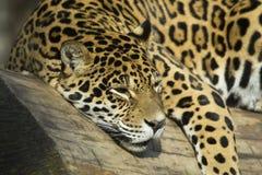 Portrait of a Jaguar (horizontally). Jaguar portrait lying on a tree trunk Stock Photos