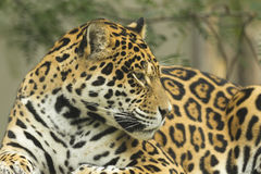 Portrait of a Jaguar (horizontally) Royalty Free Stock Photo