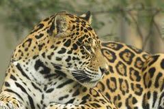 Portrait of a Jaguar (horizontally). Jaguar portrait lying on a tree trunk Royalty Free Stock Photo
