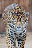 Portrait of a jaguar Royalty Free Stock Image
