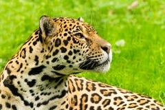Portrait of a Jaguar. Panthera onca. Royalty Free Stock Photos