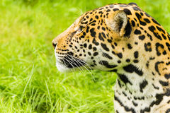 Portrait of a Jaguar. Panthera onca. Royalty Free Stock Photo