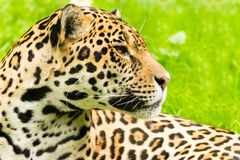 Portrait of a Jaguar. Panthera onca. Royalty Free Stock Image