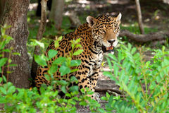 Portrait of jaguar in wildlife. Jaguar in wildlife park of Yucatan in Mexico Royalty Free Stock Photography