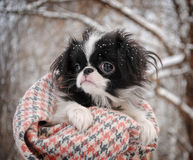 Portrait of Japanese Chin Puppy. Against Trees Covered with Snow Stock Photos