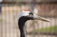 Portrait of the Japanese crane Royalty Free Stock Photo