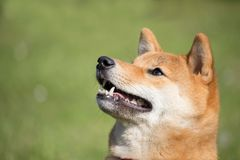 Portrait of a Japanese shiba inu dog looking on up with an open mouth Royalty Free Stock Photography