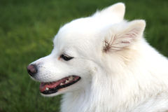 Portrait of a japanese spitz Stock Images