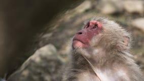 Portrait japonais de Macaque Image stock