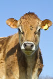 Portrait of a Jersey Cow Royalty Free Stock Photos