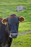 Portrait of Jersey cow Royalty Free Stock Images