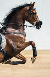 Portrait of a jumping horse in a hackamore Stock Image