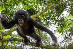 The portrait of jumping juvenile Bonobo on the tree in natural habitat. Stock Photo