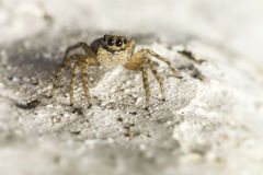 Portrait of a jumping spider Royalty Free Stock Images