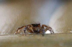 Portrait Jumping Spider royalty free stock images