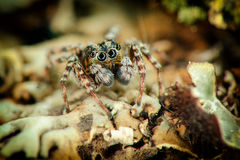 Portrait of jumping spider Royalty Free Stock Photo