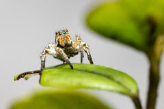 Portrait of a Jumping Spider Royalty Free Stock Photo